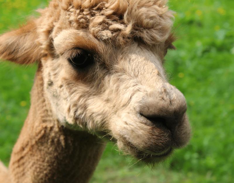 Den treuen, großen, braunen Augen von einem Alpaka kann kaum einer widerstehen.