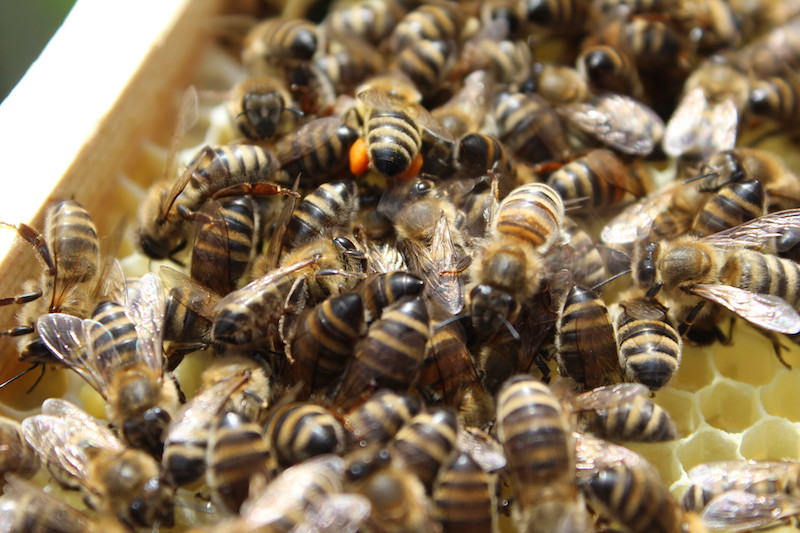 Das Pollenhöschen der Biene is gut zu erkennen.