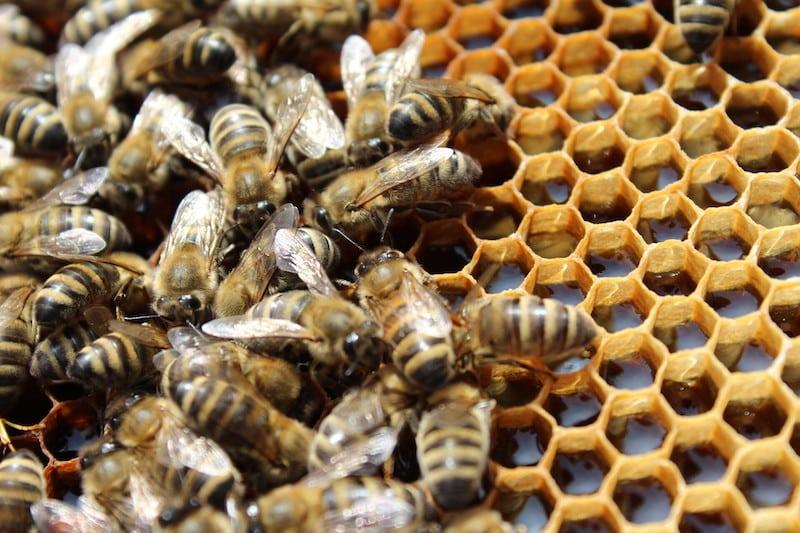 Die Waben der Bienen sind gefüllt mit Nektar, unserem Honig.
