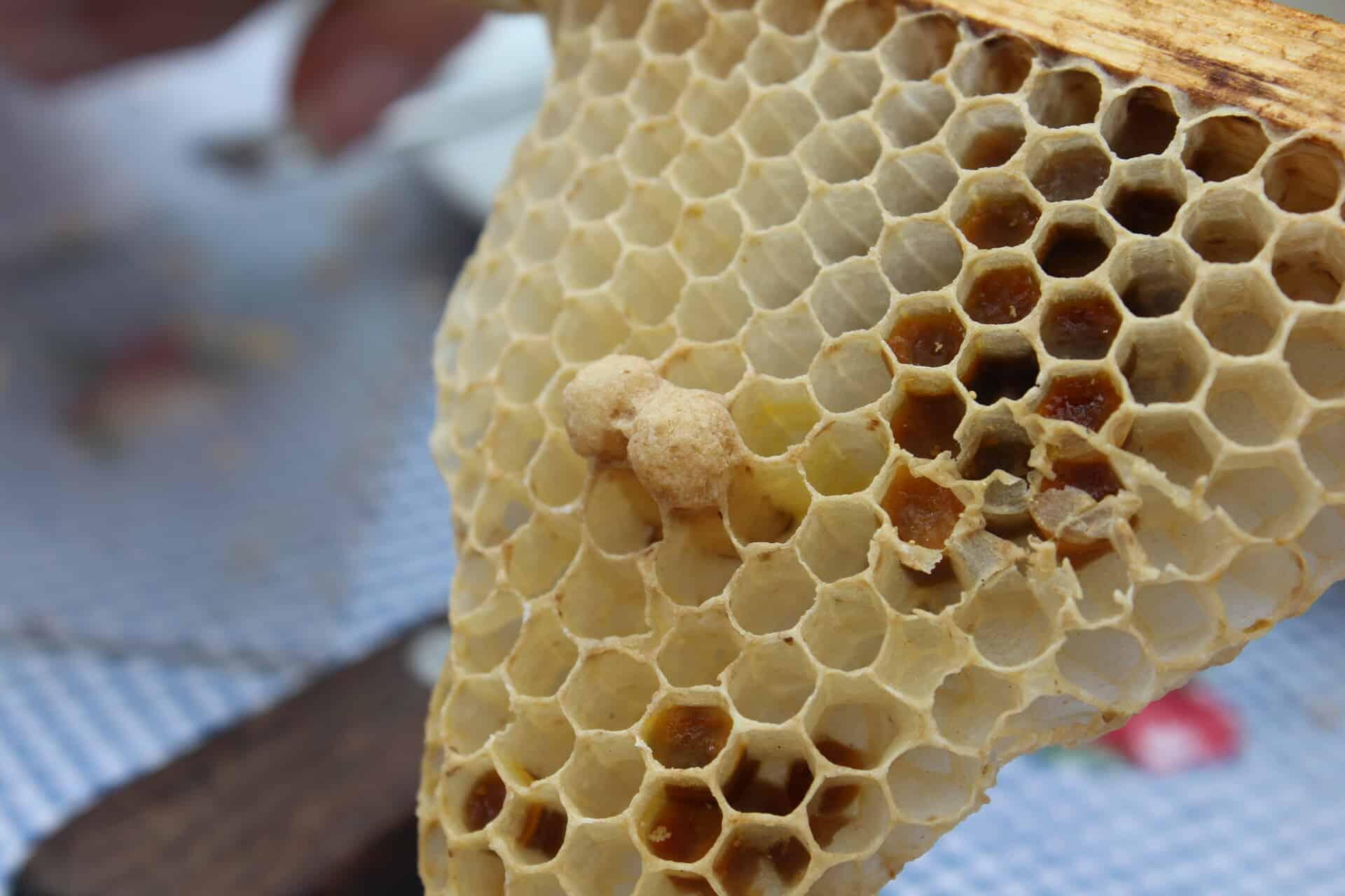 In der Weiselzelle wächst eine neue Bienen Königin heran.