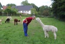 Photo of Alpakas – Neuweltkameliden sind mehr als nur Woll-Lieferanten