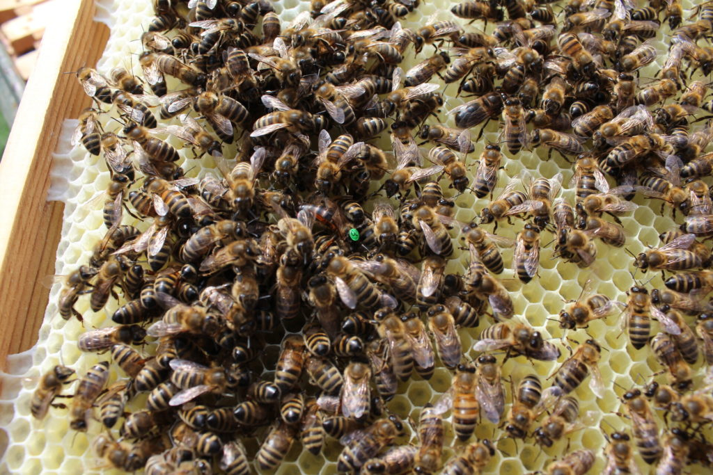 Fleißige Bienen beim Imker Georg Amser in Drabenderhöhe.